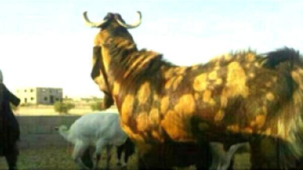 kambing mahal