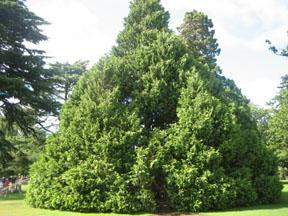 pohon2bgorgot